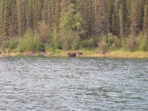 Yukon 1000 wildlife